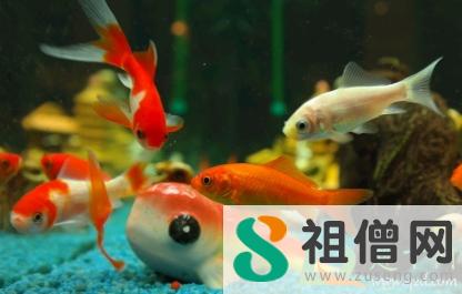 金鱼白膜是怎么回事 金鱼身上一层白色的东西怎么治