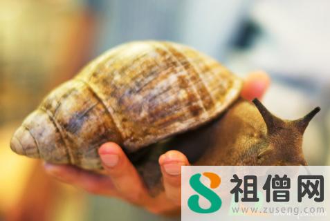 非洲大蜗牛摸了怎么办 非洲大蜗牛有病毒吗
