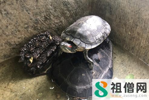 巴西龟怎么养3